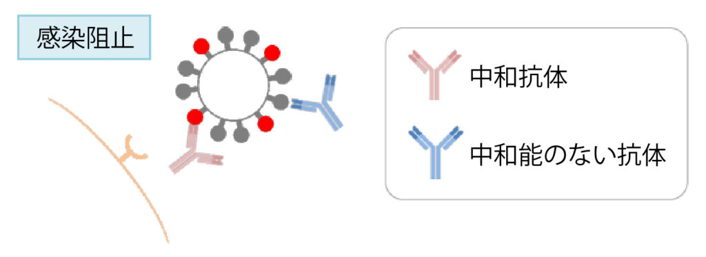 中和抗体が感染を阻止